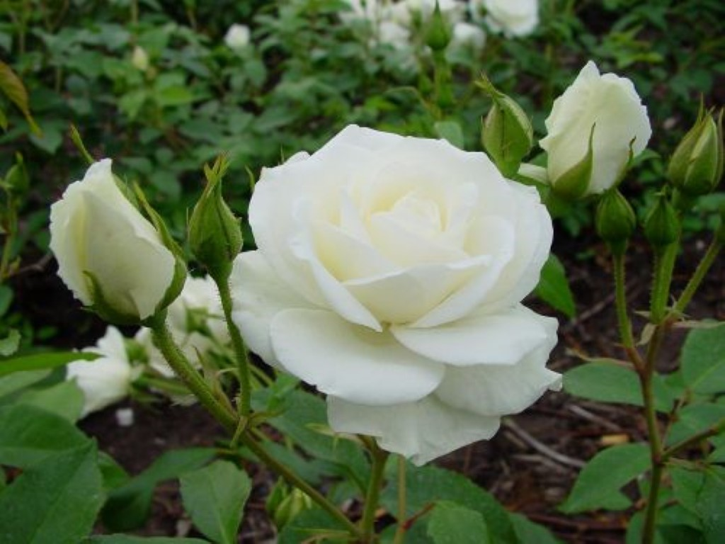 <span>Rosa Iceberg, delicada, bellísima y fragante, en un color blanco insuperable. </span></p>